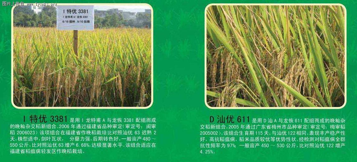 水稻新组合(二)