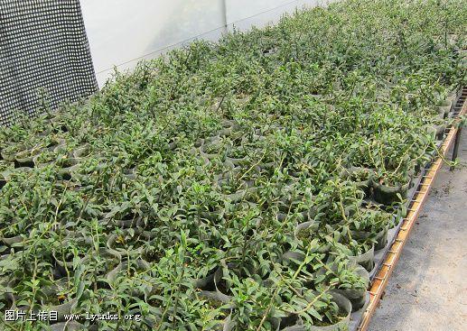 金线莲等种苗繁育及产业化开发取得初步